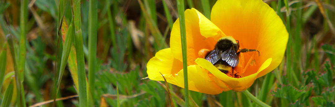 Bumblebee and California Poppy