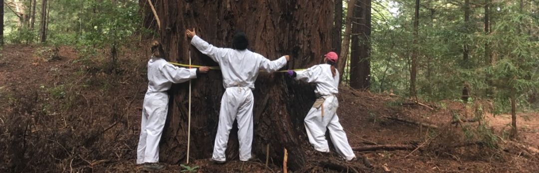students measuring large redwood tree