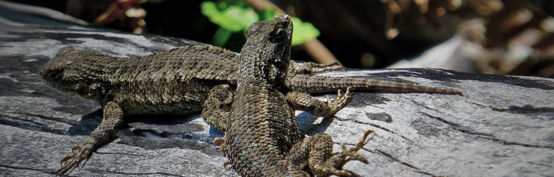 Western fence lizard in the UCSC FERP