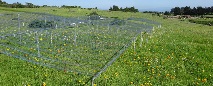 Enclosures are used on an International Drought Experiment study plot in the UCSC Campus Natural Reserve to simulate drought conditions.