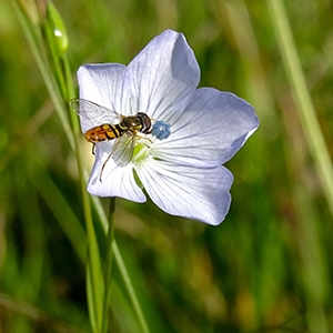 A native hoverfly shown landing on a blue flax flower