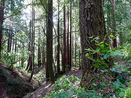 Redwood and douglas fir grow in the headwaters of Cave Gulch