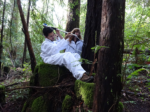 FERP interns measure a redwood with an electronic caliper